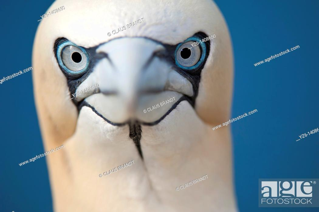 Stock Photo: Northern Gannet Sula bassana portrait  Bassrock, Scotland, Great Britain.