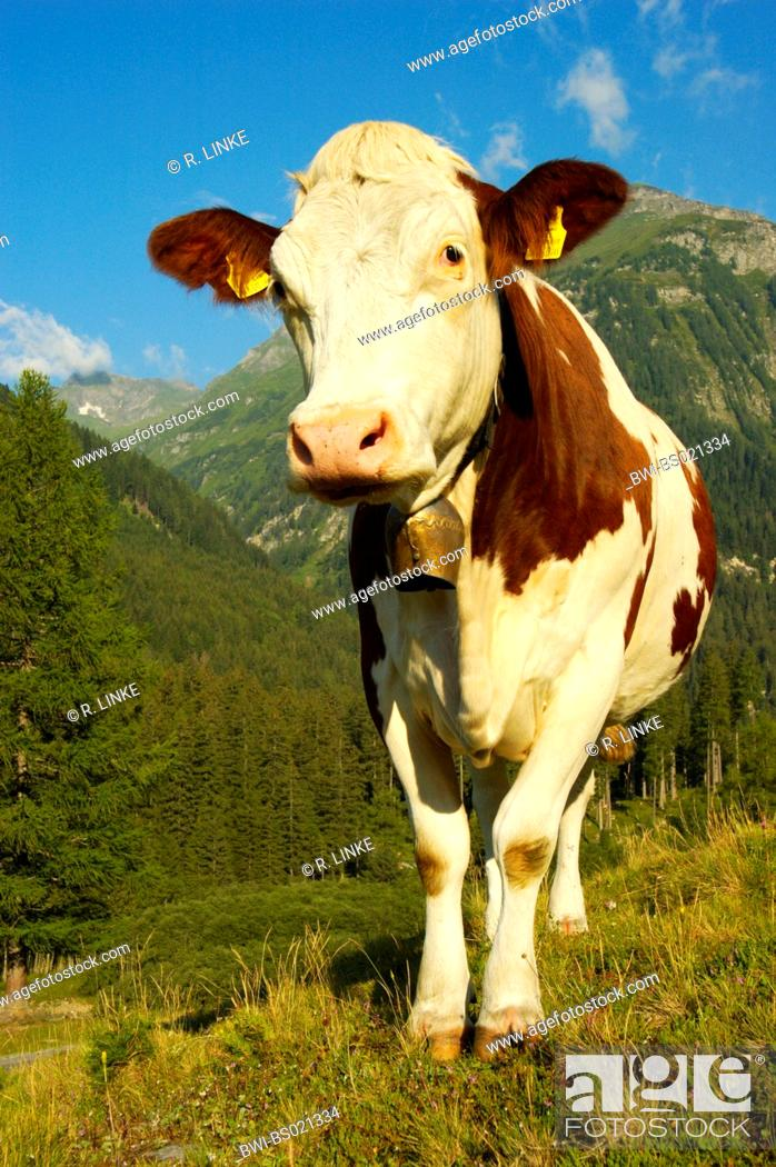 Stock Photo: domestic cattle (Bos primigenius f. taurus), spottet, in front of mountain scenery.