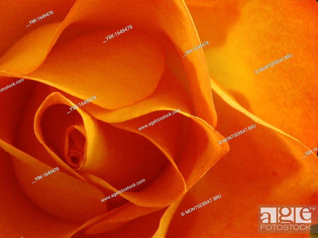 Stock Photo: Orange rose flower closeup.