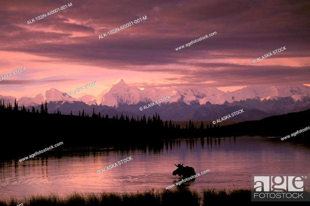 Photo de stock: Alaska Range Moose Bull Wonder Lake Denali Natl Park Interior Alaska Summer Trees Snow.