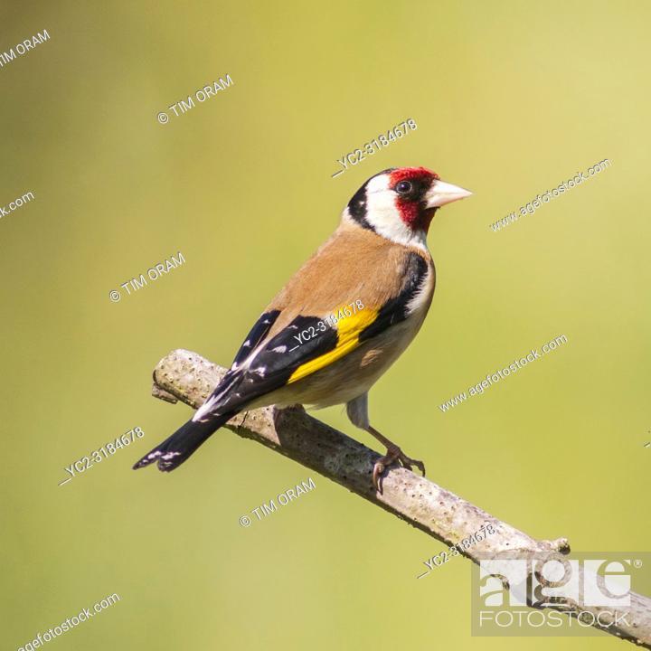 Stock Photo: A Goldfinch (Carduelis carduelis) in a Norfolk garden.