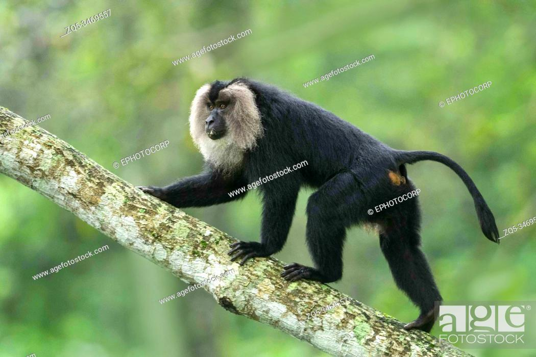 Stock Photo: Lion Tail Macaque, Macaca silenus, Endangered withPopulation decreasing, Western Ghats, India.