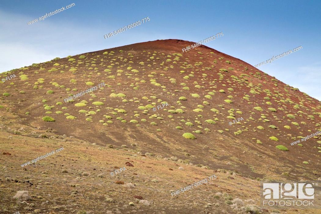 Stock Photo: Balsam Spurge (Euphorbia balsamifera) habit, on cinder hill habitat, Montana del Golfo, Lanzarote, Canary Islands, March.
