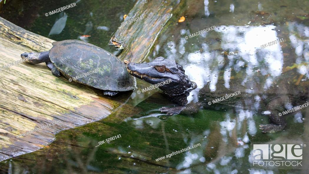Stock Photo: Young American alligator (Alligator mississippiensis) with turtle, captive, St. Augustine Alligator Farm Zoological Park, St.