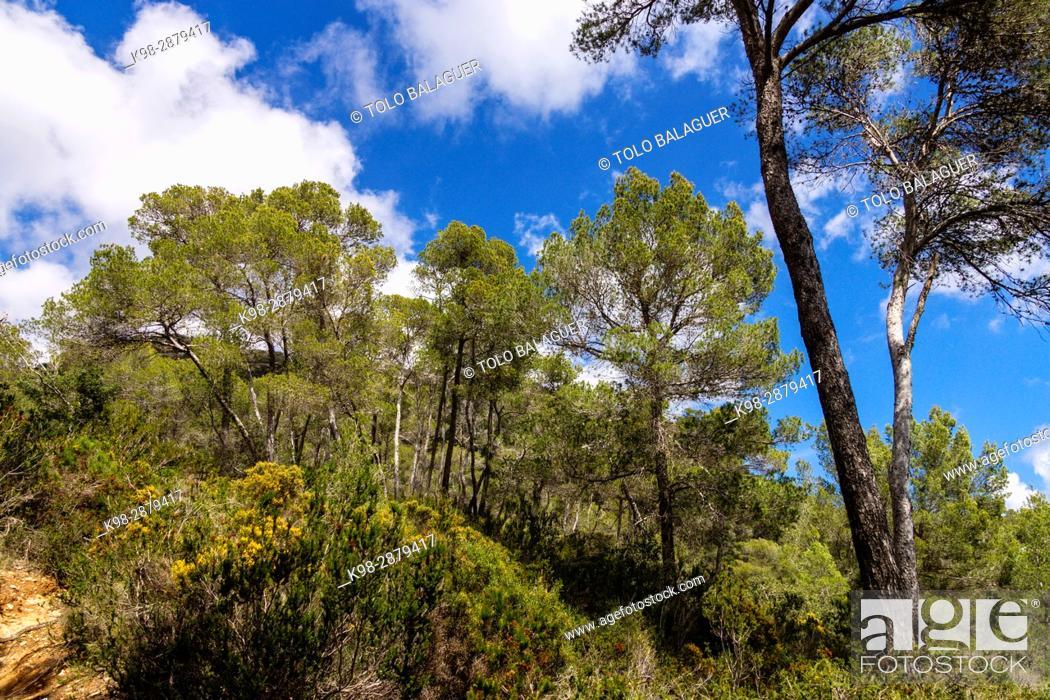 Stock Photo: Pinar de Gracia, Llucmajor, Mallorca, balearic islands, spain, europe.