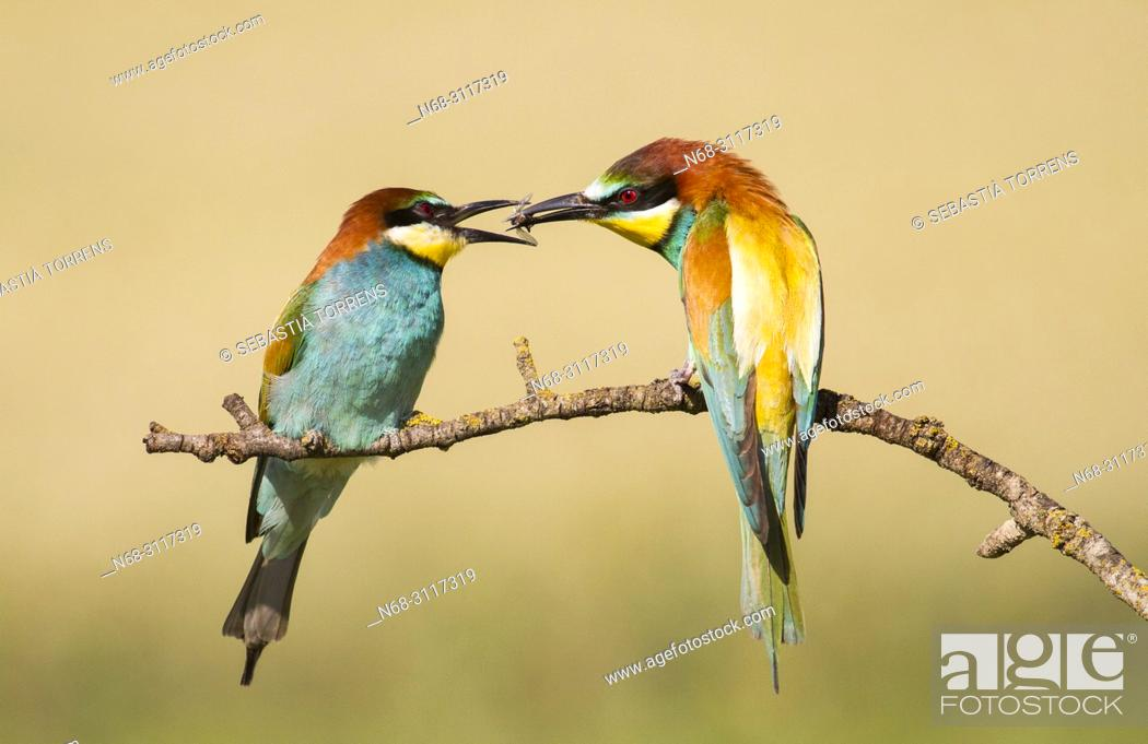 Stock Photo: Pair of bee-eaters (Merops apiaster) during courtship, Montgai, Lleida, Spain.