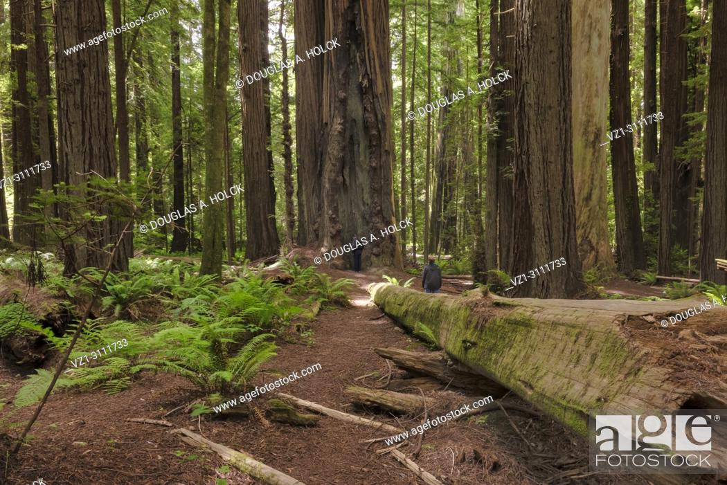 Imagen: What is man that you are mindful of him? The wonder of creation amongst the ancient redwoods of the Avenue of the Giants, Northern California, USA.