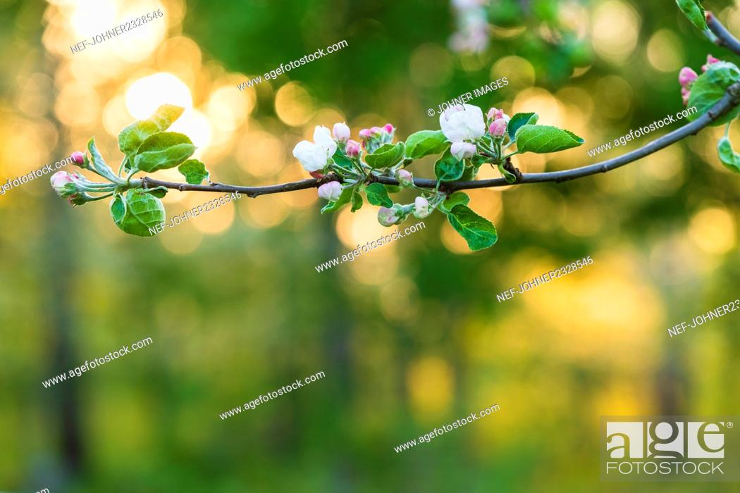 Stock Photo: Blossoms on twig.