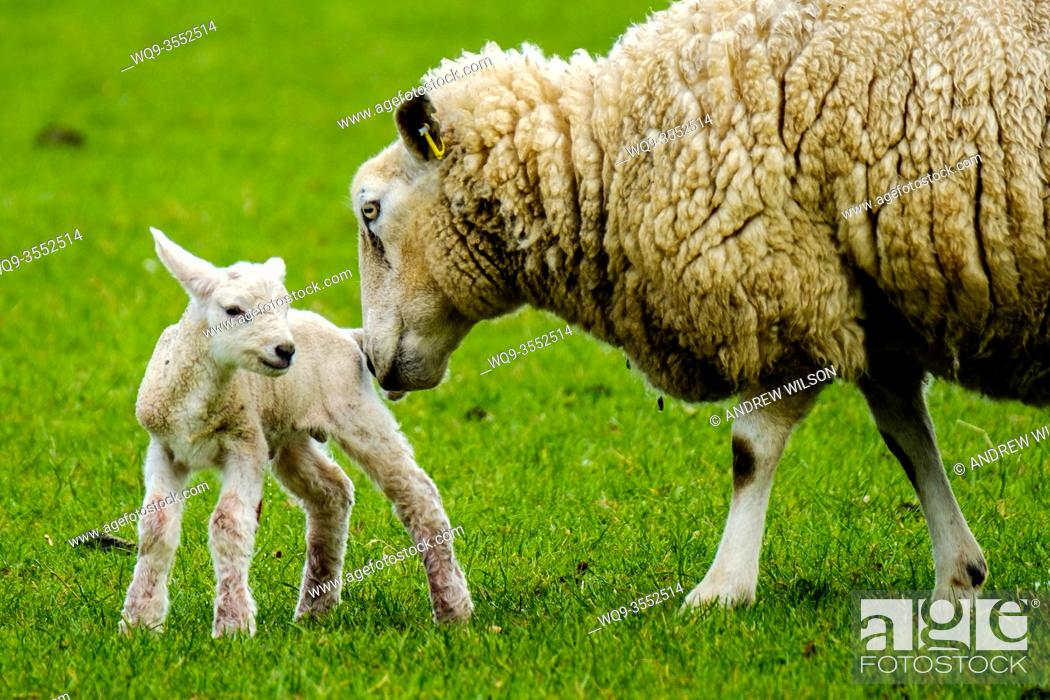 Stock Photo: Ewe tends to her newly born lamb in springtime.