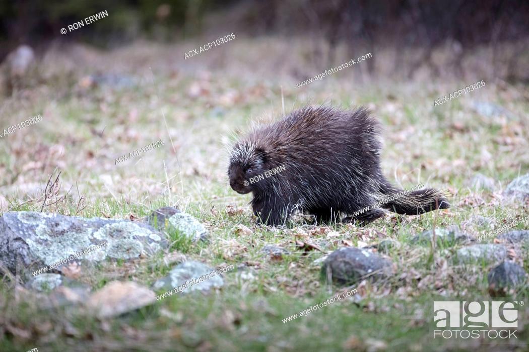 Stock Photo: North American Porcupine (Erethizon dorsatum dorsatum) foraging, Barrie Island, Manitoulin Island, Ontario, Canada.