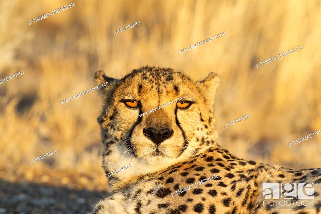 Stock Photo: Cheetah (Acinonyx jubatus) - Male, resting in the evening. Photographed in captivity on a farm. Namibia.