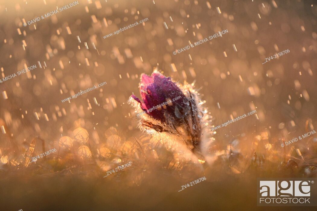 Imagen: Bloom of a Pulsatilla (Pulsatilla vulgaris) in the grassland on a rainy evening in early spring, Bavaria, Germany.