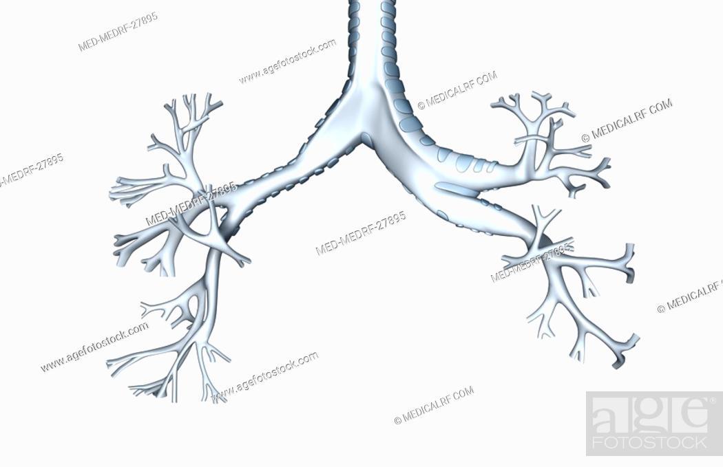 Stock Photo: The bronchial tree.