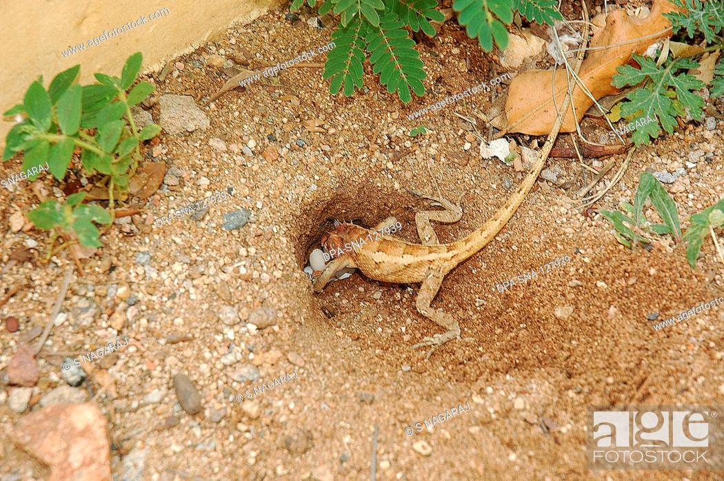 Reptiles Garden Lizard Covering Eggs With Mud Stock Photo Picture And Rights Managed Image Pic Dpa Sna 127939 Agefotostock