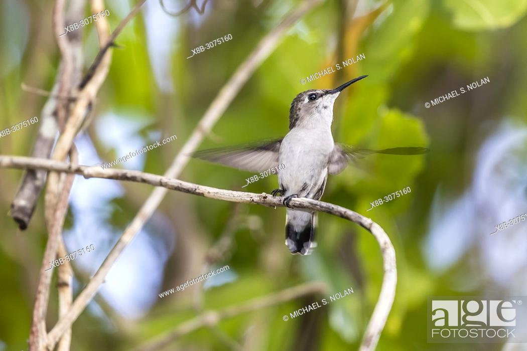 Stock Photo: A wild juvenile bee hummingbird, Mellisuga helenae, Zapata National Park, Cuba.