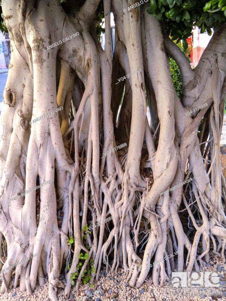Imagen: Roots of Ficus Tree in the city center of Alghero, Sardinia, Italy.