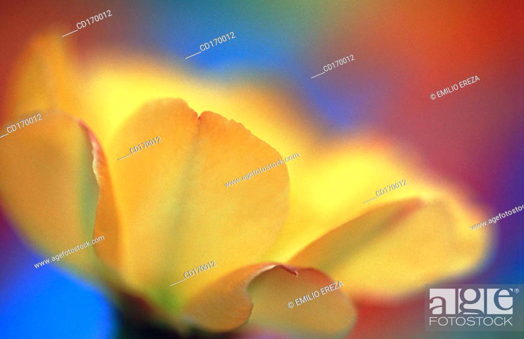 Stock Photo: Echinocereus sp.
