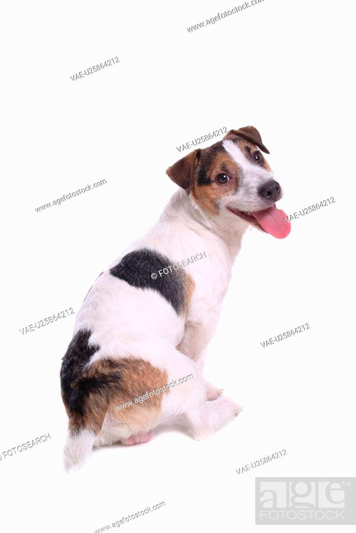 Stock Photo: canine, russell, close up, domestic animal, terrier, jack russell terrier.