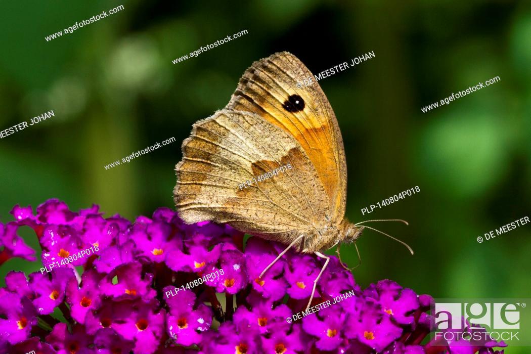 Stock Photo: Meadow Brown (Maniola jurtina) on summer lilac (Buddleja davidii / Buddleia davidii) in flower.