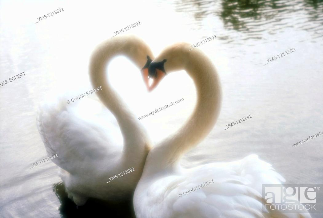 Stock Photo: Two Swans Necking in Heart Shape.