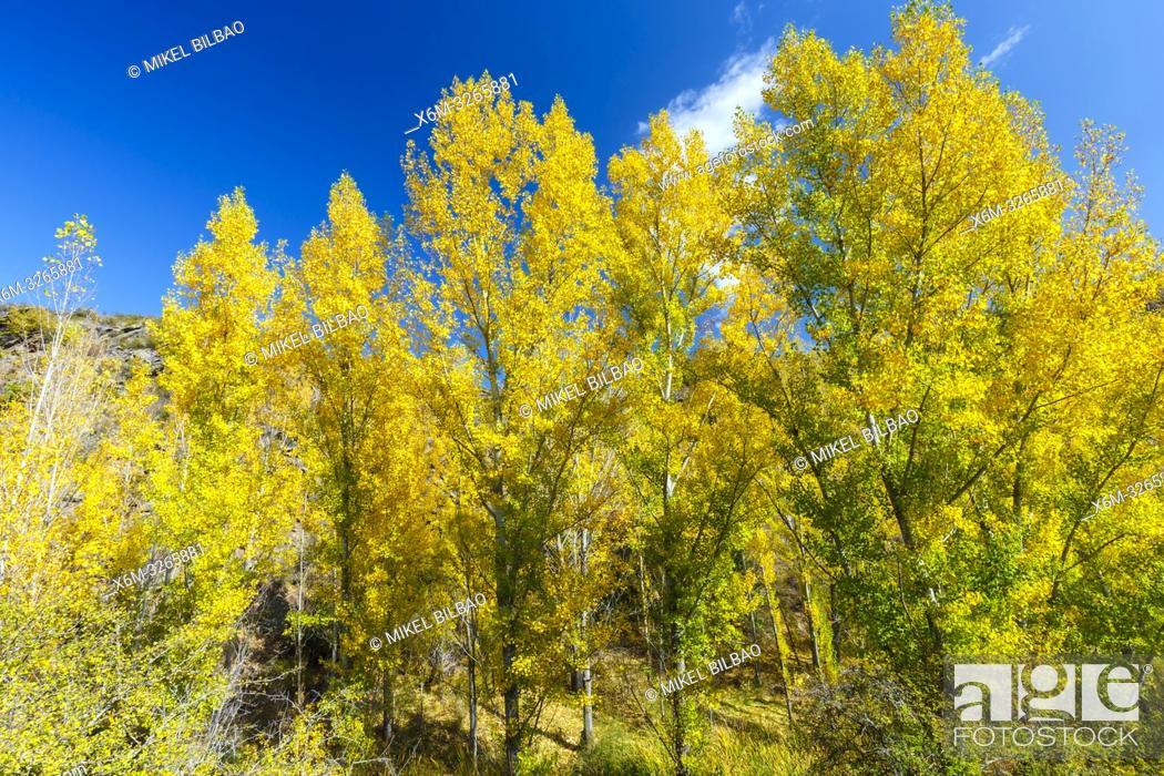 Stock Photo: Poplar grove in a gorge in autumn. Chopos en desfiladero en otoño. Cañamares river. Guadalajara, Castilla-La Mancha, Spain, Europe.
