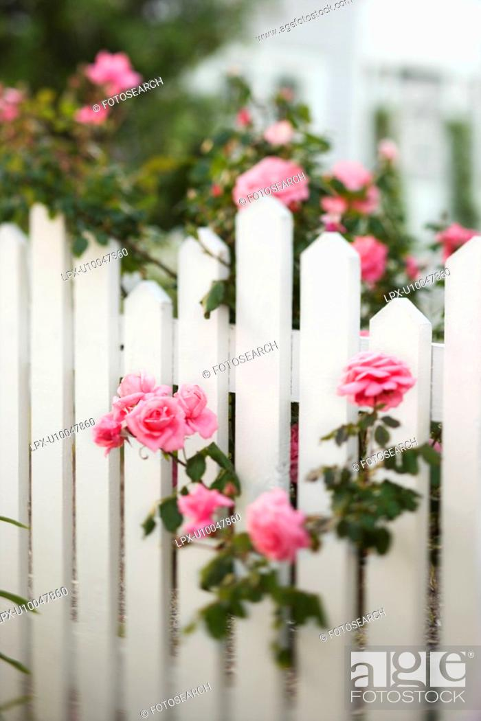 Stock Photo: Rose bush growing over white picket fence.