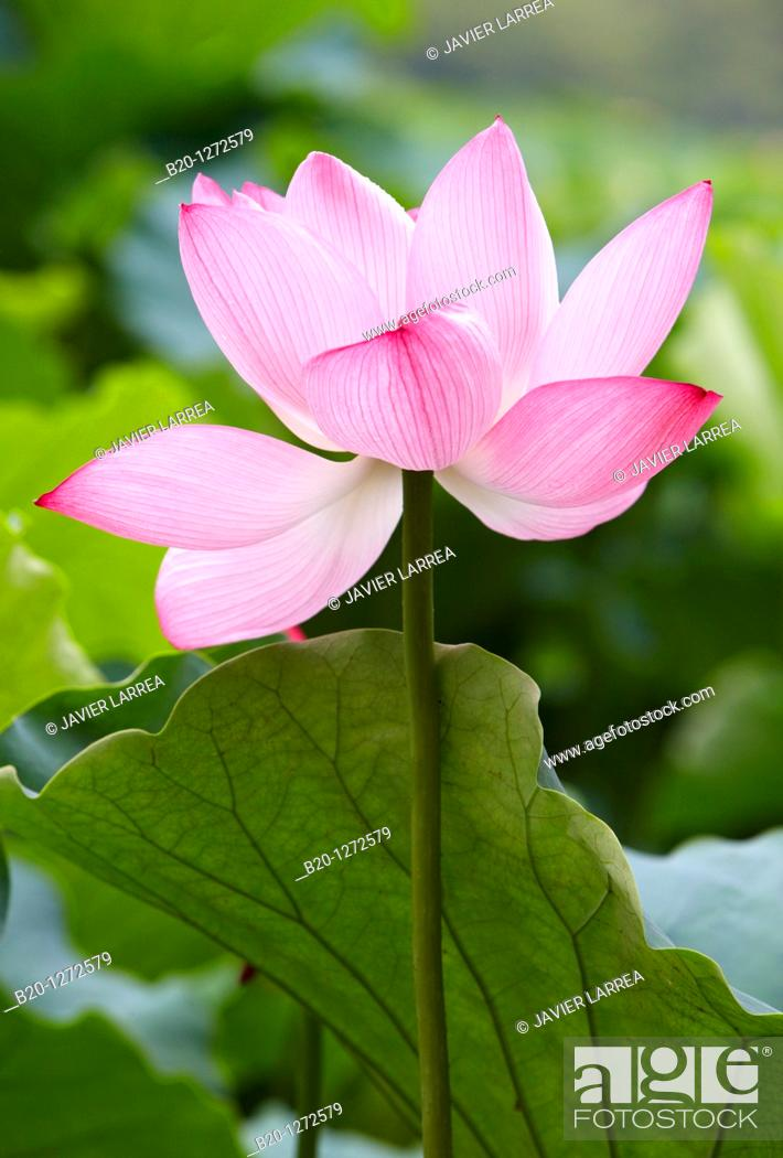 Stock Photo: Lotus flower, Ueno Onshi Park, Ueno, Tokyo, Japan.