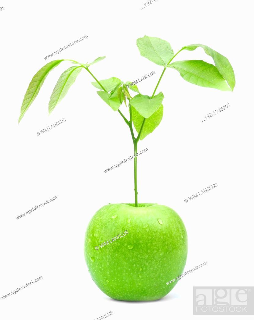 Stock Photo: Green apple tree on white background.
