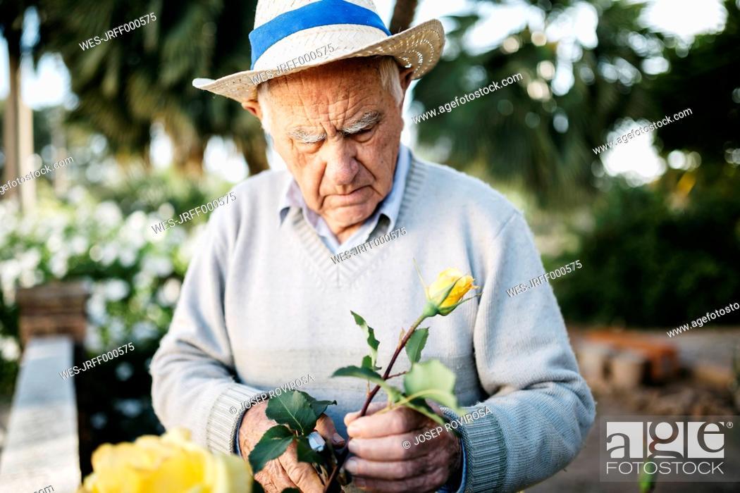 Stock Photo: Senior man cutting rose in the garden.