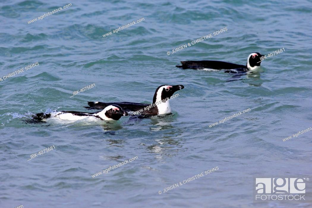 Stock Photo: Three Jackass Penguins or African Penguins (Spheniscus demersus), in the water, Boulders Beach, Simon's Town, Western Cape, South Africa.