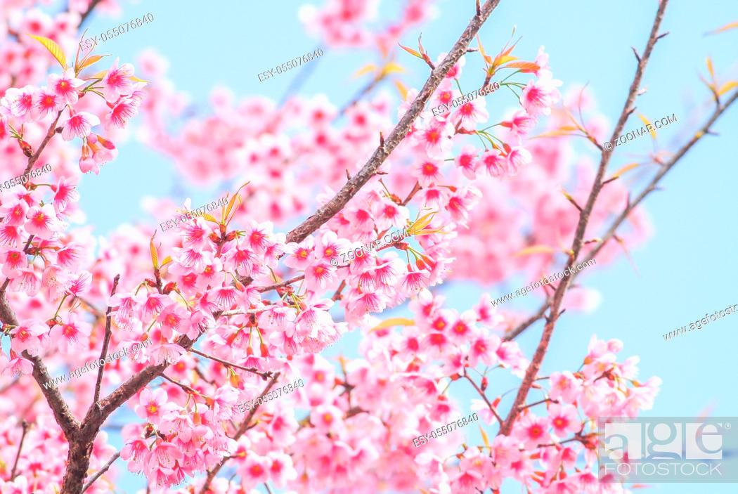 Stock Photo: Spring time with beautiful cherry blossoms, pink sakura flowers.
