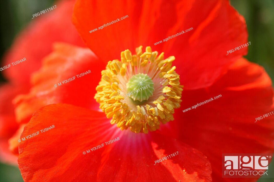 Imagen: A Red Poppy, papaver rhoeas, is one of the many species and genera named poppy It is a variable annual plant, forming a long-lived soil seed bank that can.
