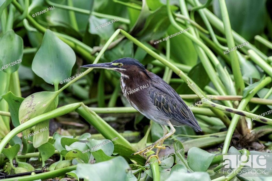 Imagen: Green Heron (Butorides virescens ) along the banks of the Sierpe river Costa Rica.