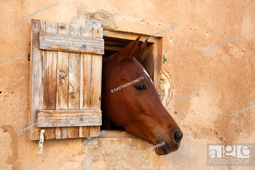 Stock Photo: Horse Equus caballus, poking out it head through the window, Palma de Mallorca  Spain.