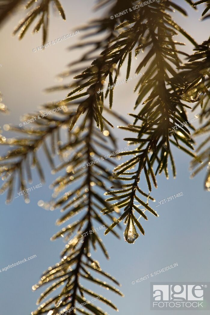 Stock Photo: Frost covered dew drops are glittering on fir twigs on an autumn morning. Bredbyn, Västernorrland, Sweden.