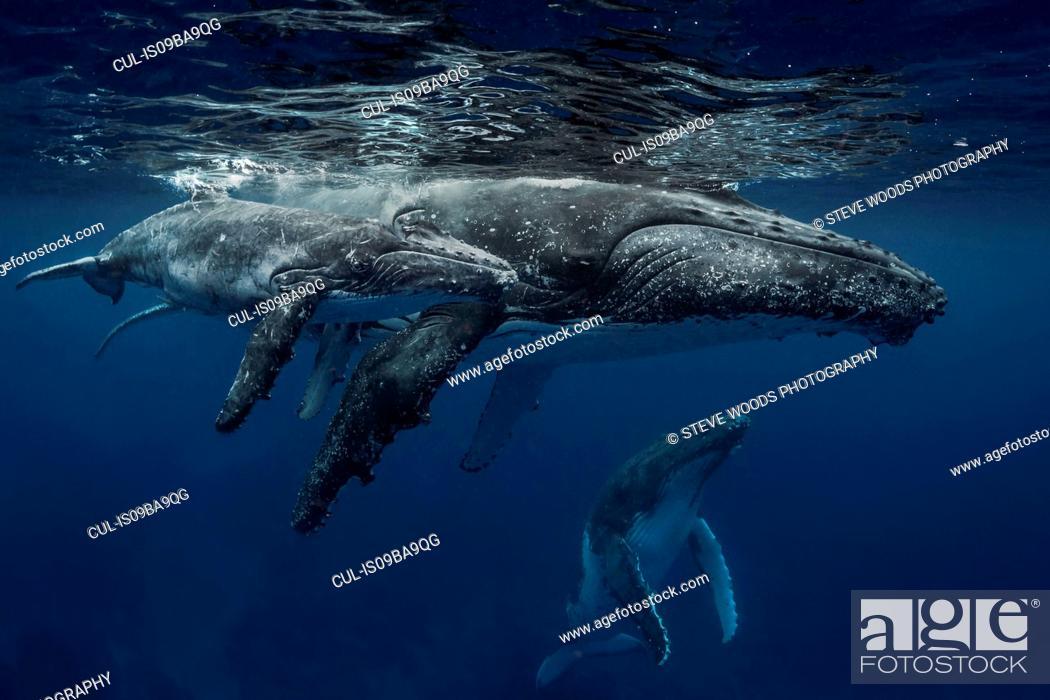 Stock Photo: Humpback whale (Megaptera novaeangliae) and calf in the waters of Tonga.