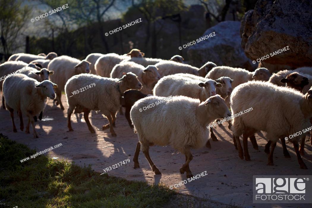 Stock Photo: A flock of sheep walk in a road in Villaluenga del Rosario, in the Sierra de Grazalema National Park, Cadiz province, Andalusia, Spain.