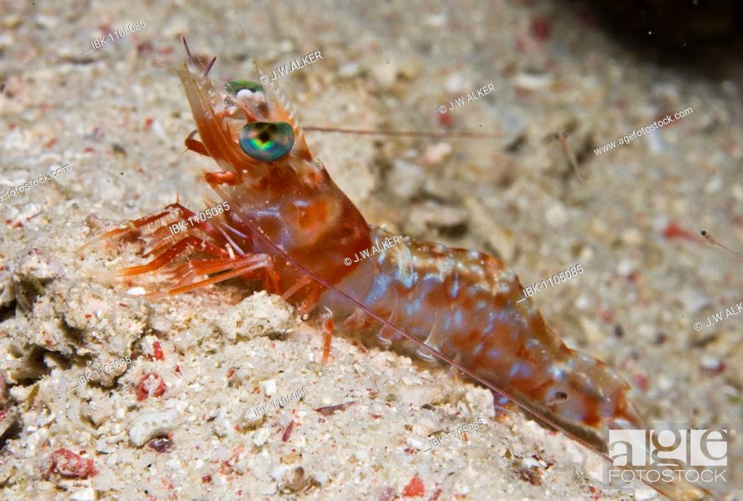 Stock Photo: Hinge-beak Shrimp (Rhynchocinetes sp.).