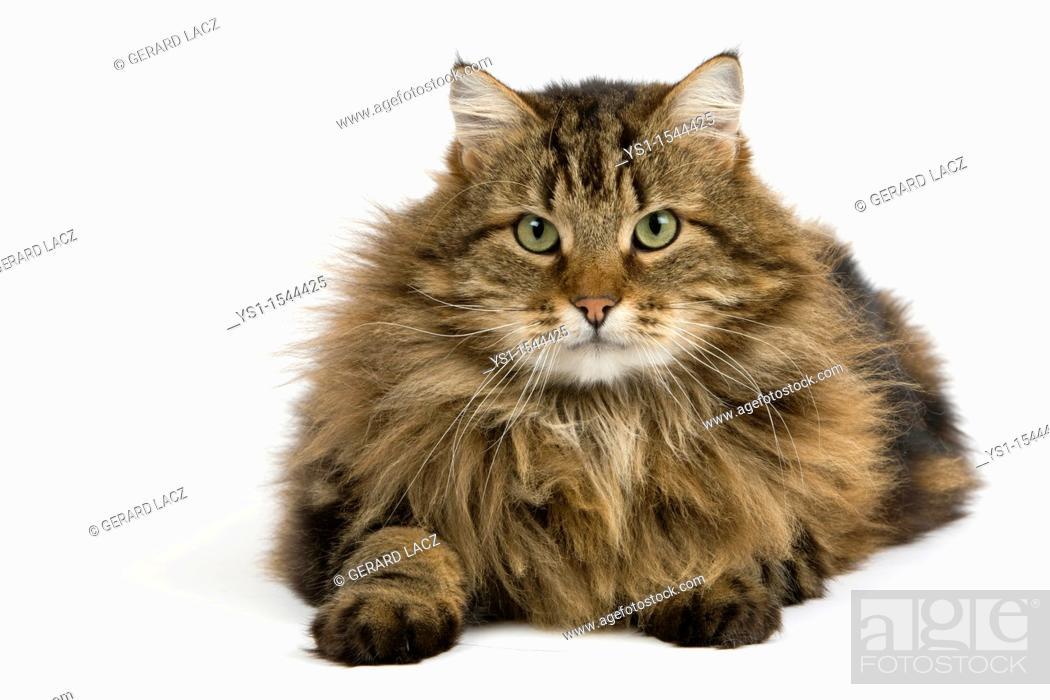Stock Photo: Angora Domestic Cat, Male against White Background.