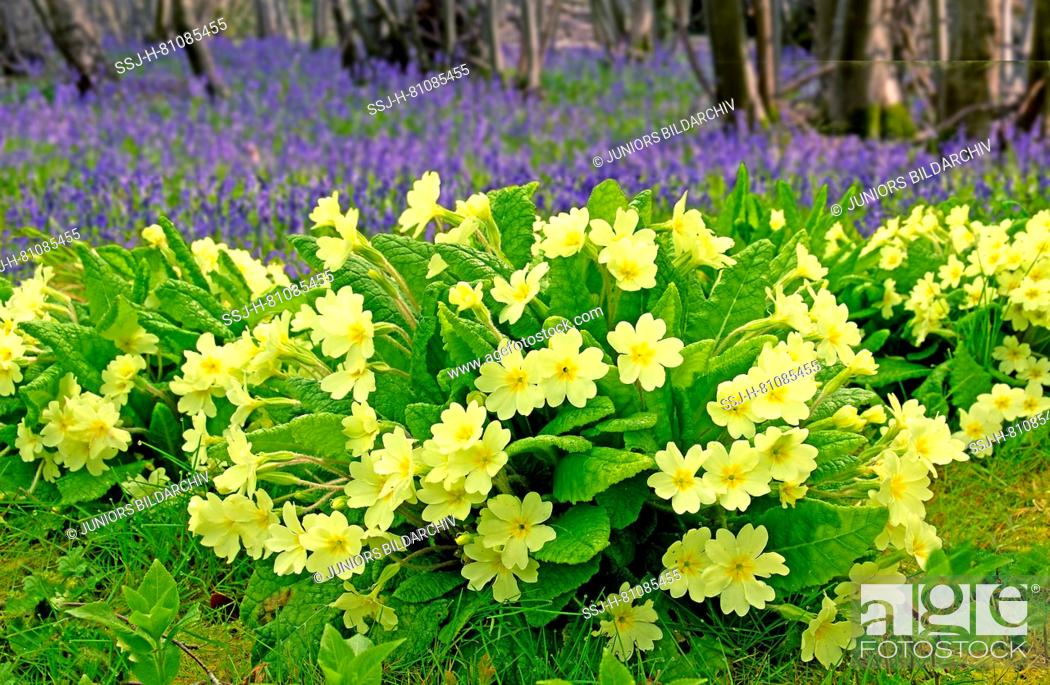 Stock Photo: Flowering Common Cowslips (Primula veris) and English Bluebell (Hyacinthoides nonscripta) flowering in forest, Essex, Great Britain.