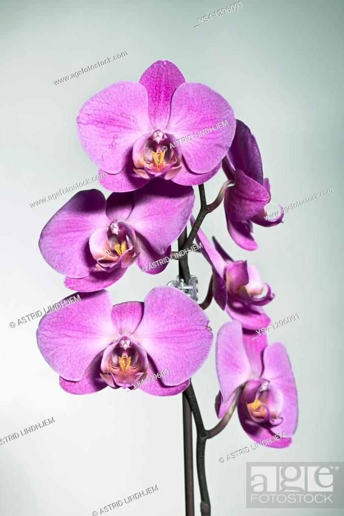 Stock Photo: Purple orchid.
