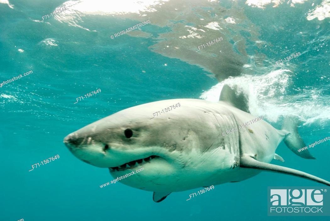 Stock Photo: Great white shark Carcharodon carcharias Stewart Island, New Zealand.