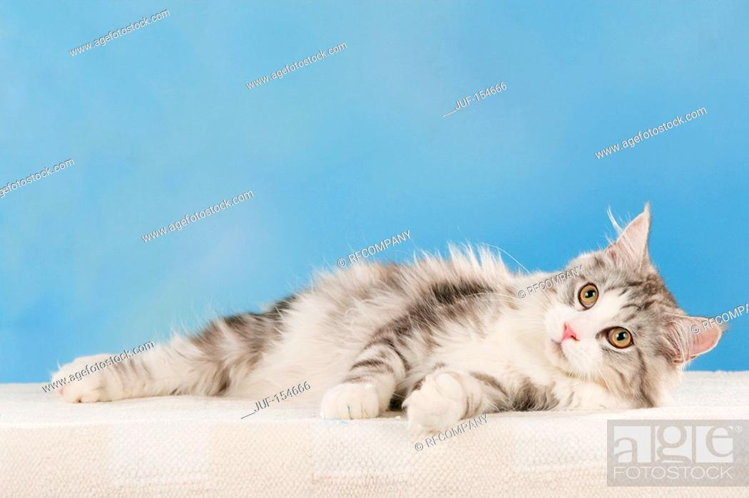 Stock Photo: Maine Coon cat - lying - cut out.