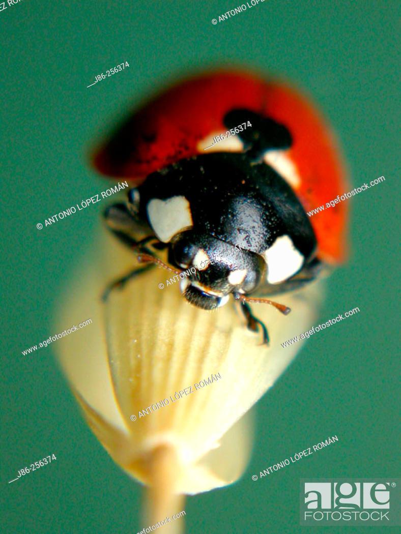 Stock Photo: Ladybird (Coccinella septempunctata).