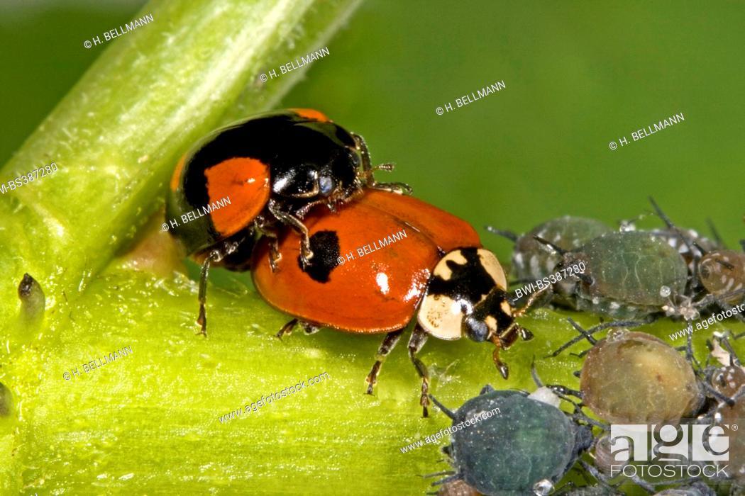 Two Spot Ladybird 2 Adalia Bipunctata Mating With