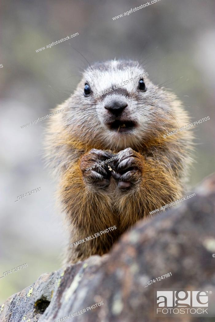 Stock Photo: Yellow-bellied Marmot.