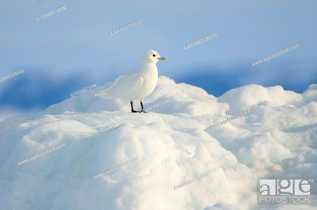 Stock Photo: Adult Ivory Gull (Pagophila eburnea) resting on sea ice. This arctic dependent species appears to be declining rapidly due to climate change.