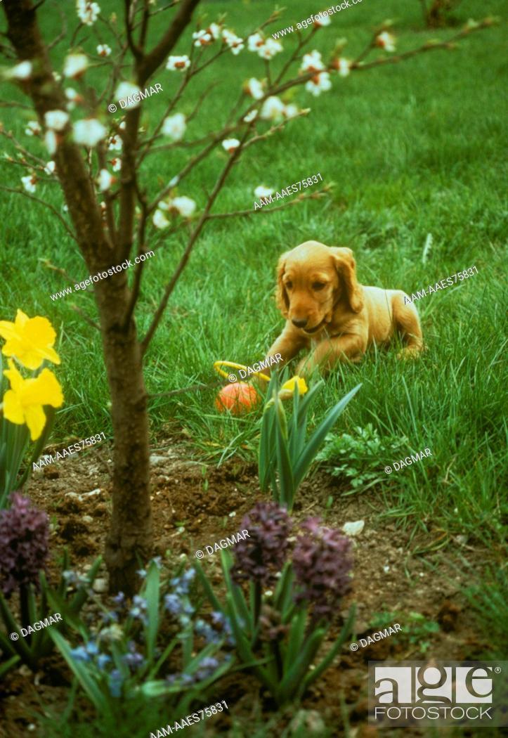 Stock Photo: Spaniel puppy.
