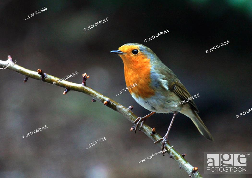 Stock Photo: robin.
