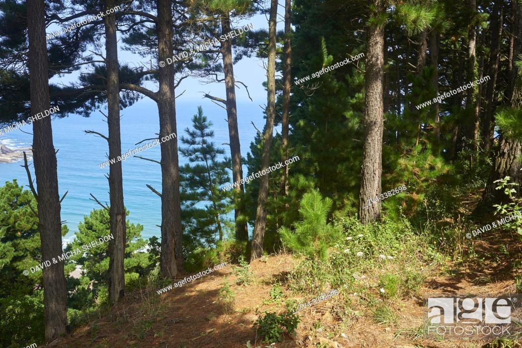 Stock Photo: Black pine forest (Pinus nigra) mith the ocean in the background at the Camino del Norte, coastal path, Way of St. James, Camino de Santiago trail.